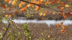 A shot of the bog which shifts focus to a maple tree branch in the foreground of - stock footage