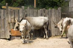 livestock - stock photo