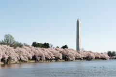 Cherry blossom season of Washington DC Stock Photos