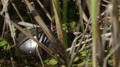 Painted turtle hiding among tall grass in Alfred Bog. Stock Footage