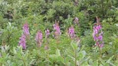 Wild Sweet Pea flowers in a field. Stock Footage