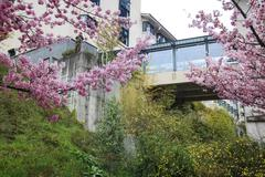 Stock Photo of Wuling Farm cherry blossom season, Nantou, Taiwan