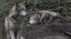 Two gray wolves at rest in forest Stock Footage