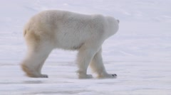 Polar bear walking through an arctic landscape. - stock footage