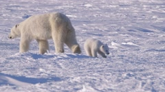 A polar bear walking through icy arctic landscape with her cubs. - stock footage