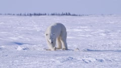 Polar bear standing in an arctic landscape sniffing around. Stock Footage