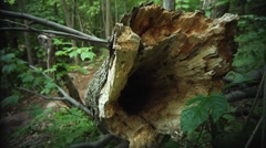 Close up of a hollow log of a fallen tree. Stock Footage