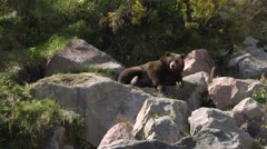Grizzly bear lying on rocky terrain in the sun. Stock Footage