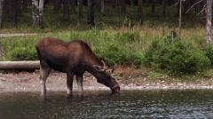 Moose drinking standing in water drinking  with a goose and duck swimming by. Stock Footage