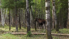 A moose stands in a forest between the trees and stares off into the distance. Stock Footage