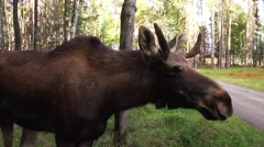 A side view of a moose as it sniffs the air just to the side of a dirt road. Stock Footage