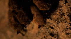 Group of bats hanging from a cave wall. Rack Stock Footage