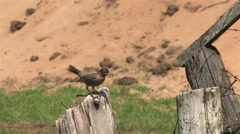 Robin perched on a wooden post in a field flies away. Stock Footage