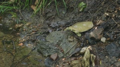 Spiny Softshell Turtle runs into a pond and buries itself in some sand along the Stock Footage