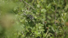 Ten Spot Dragonfly perched upon a branch. Stock Footage