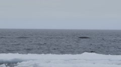 Bowhead whales swimming through the Arctic ocean. Stock Footage