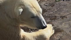 Polar bear lying on a rock bathing in sunlight. - stock footage