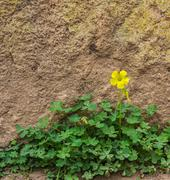 One yellow wood sorrel on the ground in front of the rock wall - stock photo