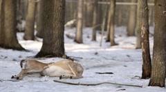 A wolf sniffs a deer carcass without interest. Stock Footage
