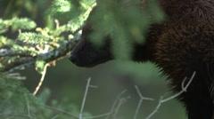 Wolverine climbing a tree. Stock Footage