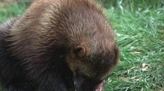 Wolverine gnawing at a slab of meat in a forest clearing. Stock Footage