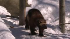 Wolverine walking in a forest in winter. Stock Footage