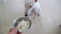 Hungry Bull Terrier Dog Waiting for Food Stock Footage