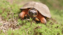 Wood turtle catches a worm then eats it. Stock Footage