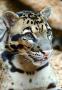 Spotty leopard closeup. - stock photo