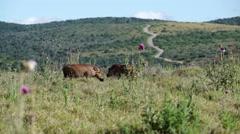 Two warthogs walking around Stock Footage