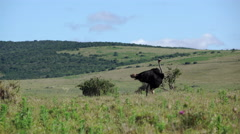 Ostrich moving his feathers Stock Footage