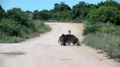 Ostrich sitting on the road moving his feathers when standing up and walks away Stock Footage