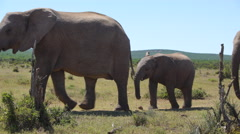 Herd of elephants passing by in Addo Elephant National Park Stock Footage