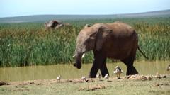 Elephants walking around a waterpool Stock Footage