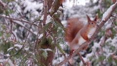 Squirrel jumps on the tree. - stock footage