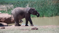 Young elephant at the waterpool when a big elephant with tusks is passing by Stock Footage