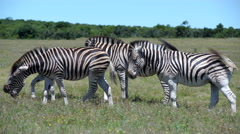 Group zebras in Addo Elephant National Park Stock Footage