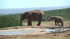 Cute baby elephant playing with his trunk Stock Footage