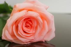 Large bud of fresh pink rose on dark glass Stock Photos