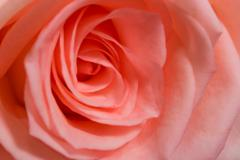 Large bud of fresh pink rose - stock photo