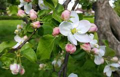 Beautiful flowers of spring apple-tree Stock Photos