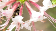 Bee Collecting Pollen from Behind Flower Closeup Stock Footage