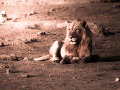 Stock Photo of Male lion having a rest
