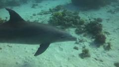 Bottlenose dolphin smiling in the camera Stock Footage