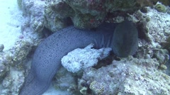 Stonefish & giant moray Stock Footage