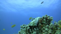 sea cucumber on corals - stock footage
