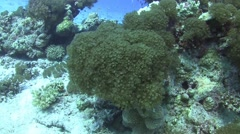 Soft corals Stock Footage
