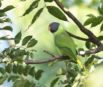 Slaty Headed Parakeet (Psittacula Himalayana) - stock photo