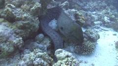 Giant moray & stonefish - a strange couple Stock Footage