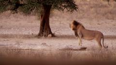 Black-maned lion staring at terrain in Kalahari desert Stock Footage